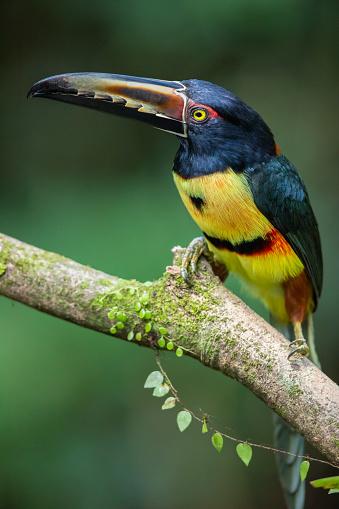 Collared Aracari Toucan, Costa Rica