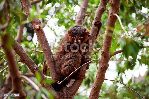 Ruffed lemur from Madagascar resting on tree. Collared brown lemur, red-collared lemur.