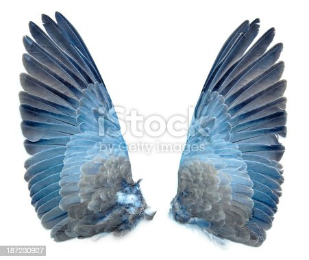 Collared Dove bird wings pair, outside - taxidermy, isolated on white background