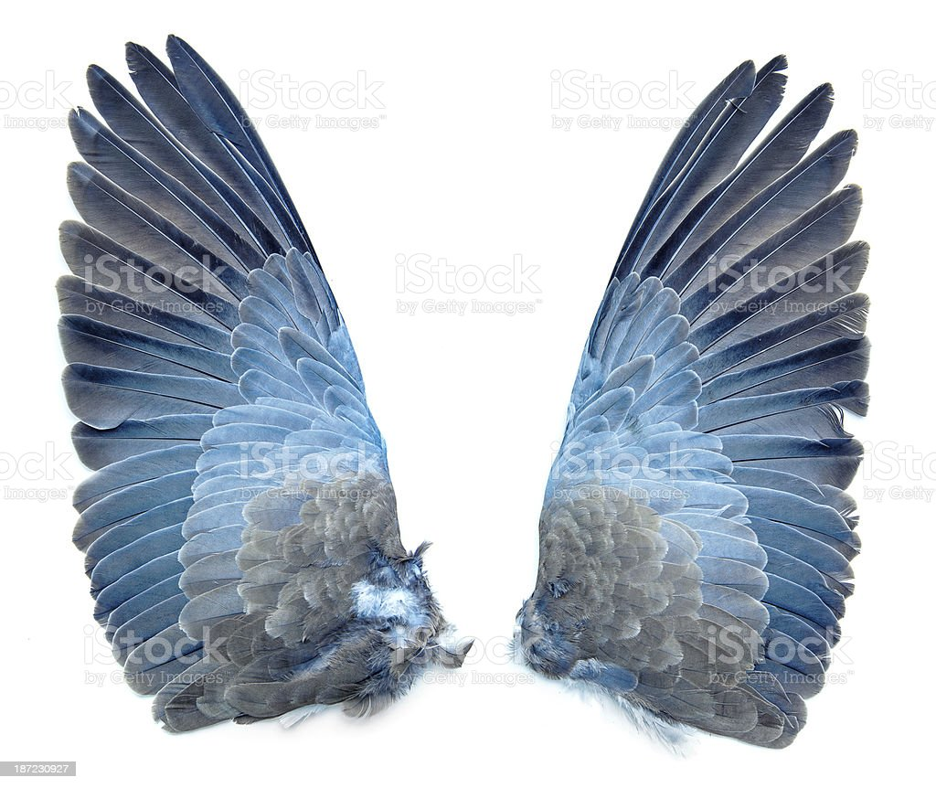 Collared Dove bird wings stock photo