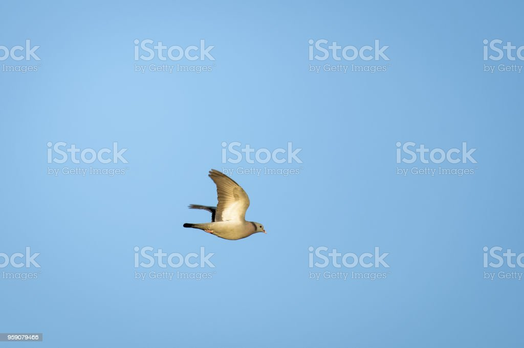 Collared dove flying stock photo