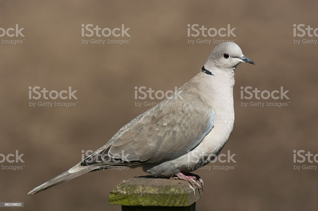 Collared dove royalty-free stock photo