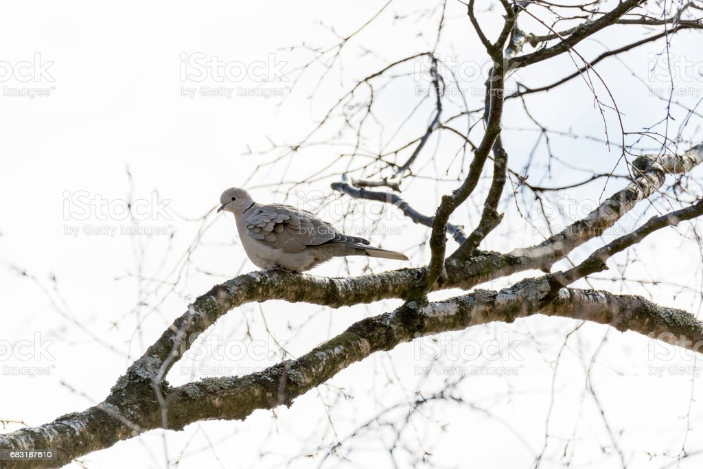 Collared Dove Sitting in Tree 免版稅 stock photo