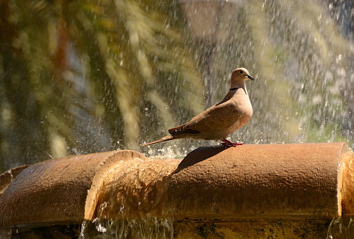 Collared dove standing on the edge of a Fountain.