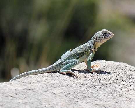 collared lizard basking on rock