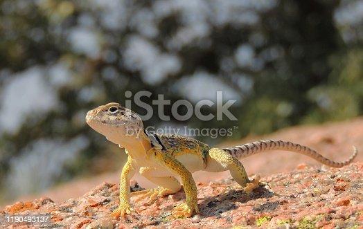 Eastern Collared Lizard in Fredericksburg, Texas