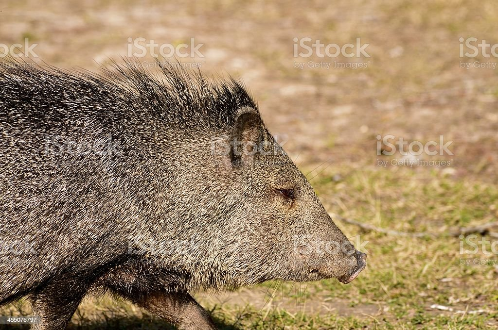 Collared Peccary From Stage Left royalty-free stock photo