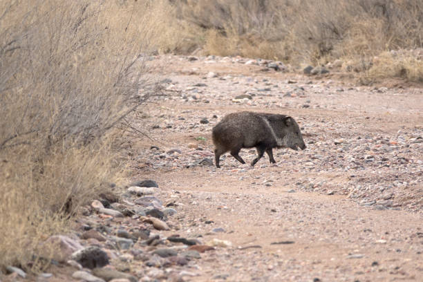 collared peccary javalina walks muleshoe ranch wildlife reserve riverbed arizona - javelina stock pictures, royalty-free photos & images
