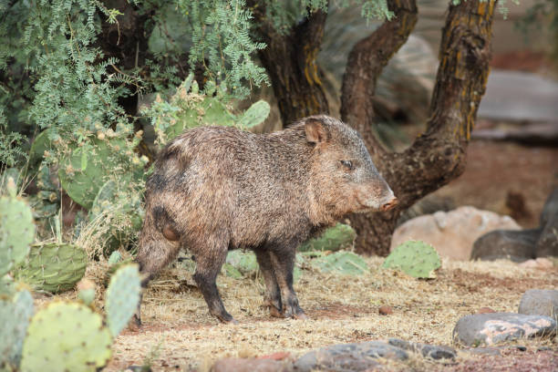 collared peccary javelina male foraging - javelina stock pictures, royalty-free photos & images