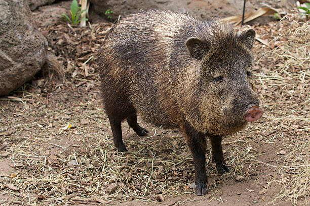 collared peccary - javelina stock pictures, royalty-free photos & images