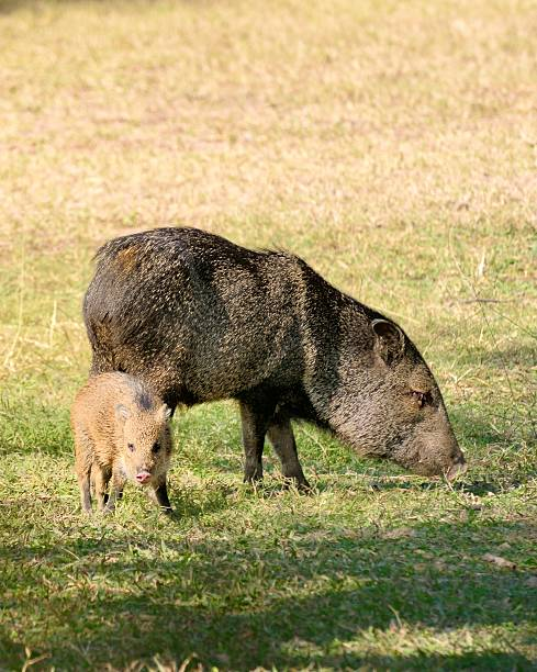 collared peccary sow and piglet - javelina stock pictures, royalty-free photos & images