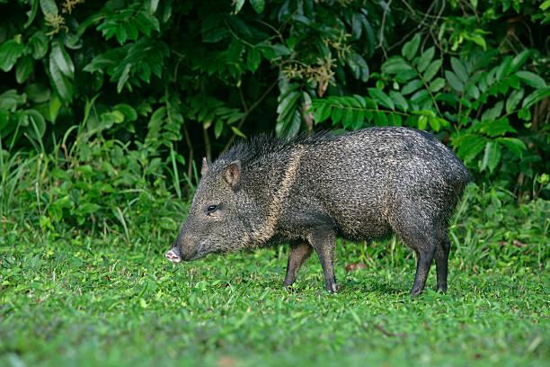 Collared peccary, Tayassu tajacu Collared peccary, Tayassu tajacu, single mammal on grass, Belize javelina stock pictures, royalty-free photos & images