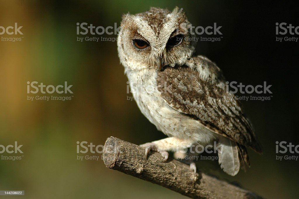 collared scops owl royalty-free stock photo