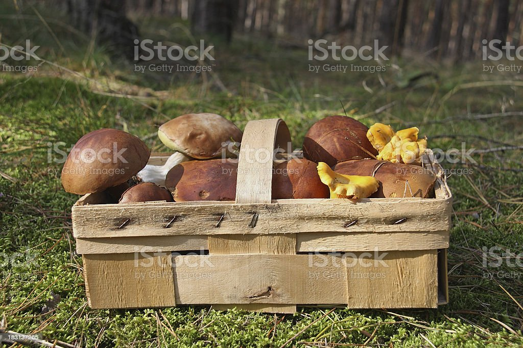 Collect Mushrooms royalty-free stock photo