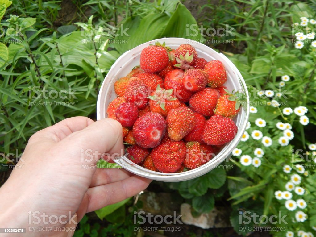 Collect strawberries in the garden and vegetable garden stock photo