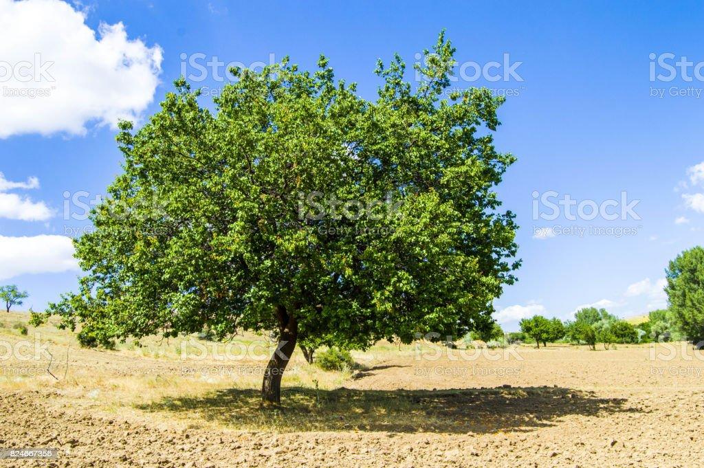 Recueillir les abricots mûrs dans la saison, recueillir les abricots de l'abricotier, Mature gloire lors de la saison et recueillir les fruits abricots - Photo