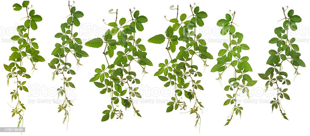 Collected Cayratia Japonica isolated on white background stock photo