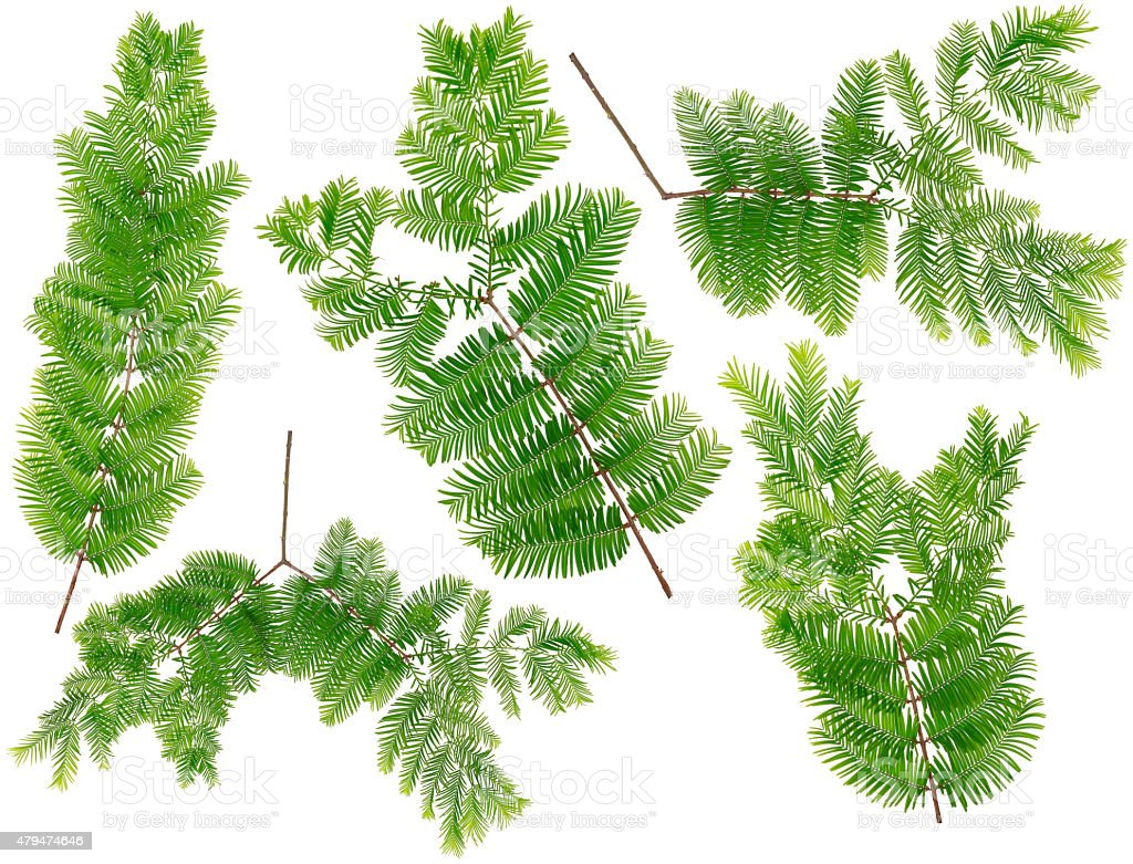 Collected Dawn Redwood leaves of macro isolated on white background stock photo