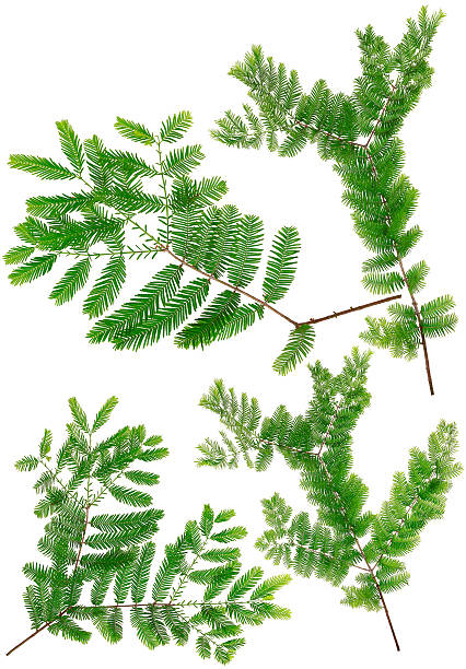 collected dawn redwood leaves of macro isolated on white background - bald cypress tree stockfoto's en -beelden