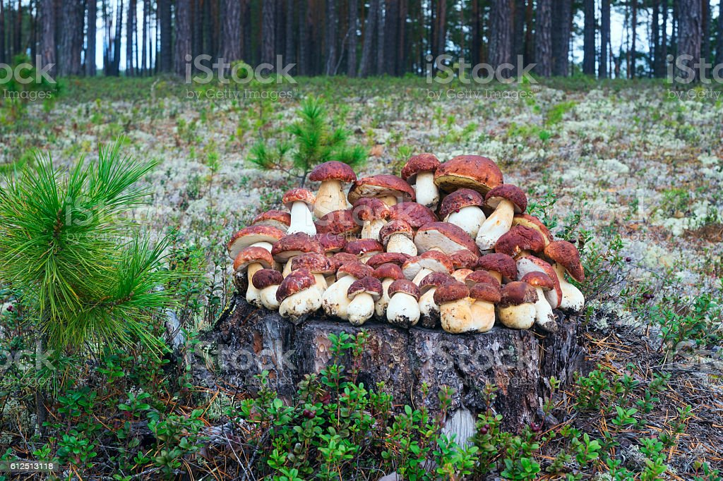 Collected mushrooms lying on a stump in the woods stock photo