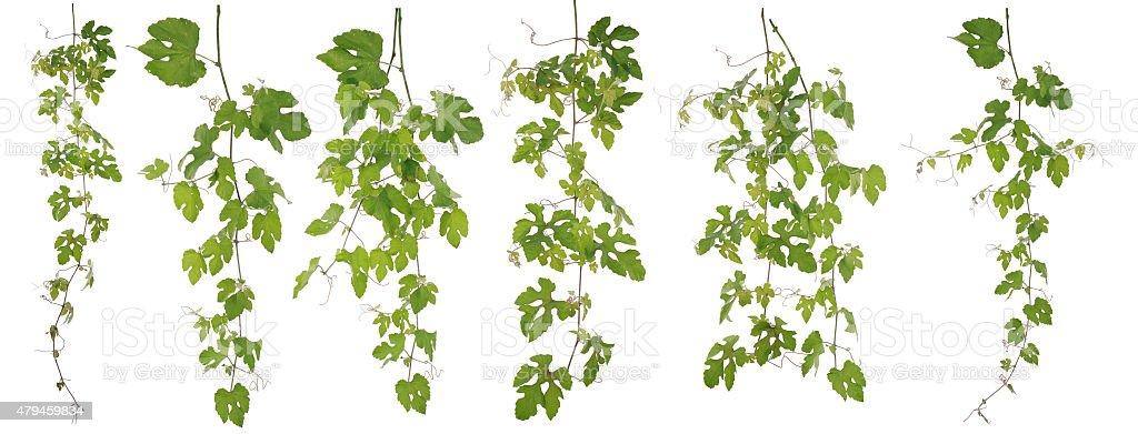 Collected Rubus Ampelopsis humulifolia Bge isolated on white background stock photo