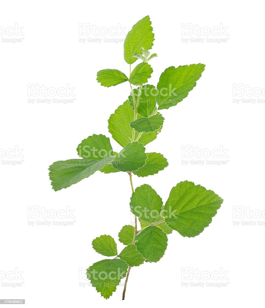 Collected Rubus parvifolius L.isolated on white background stock photo