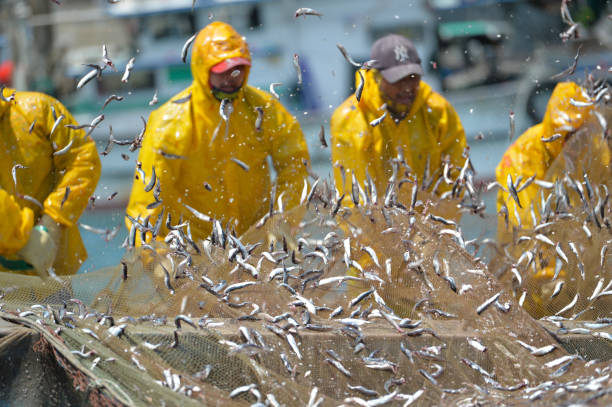 Collecting Anchovies From the Fishing Net Mijo Fishing Port, Namhae Korea - May 5th 2018, Fishermen collecting anchovies from the fishing net at Mijo fishing port, Namhae Korea. 한국 남해 미조항 멸치털이 anchovy stock pictures, royalty-free photos & images