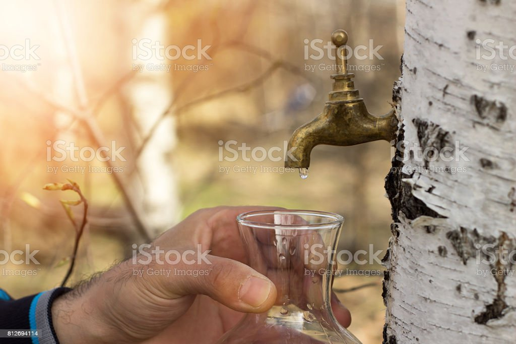 Collecting Birch juice stock photo