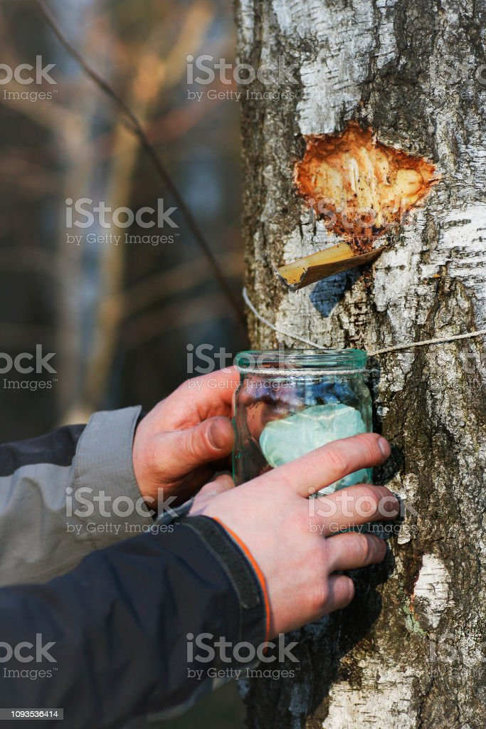 Collecting birch SAP. stock photo