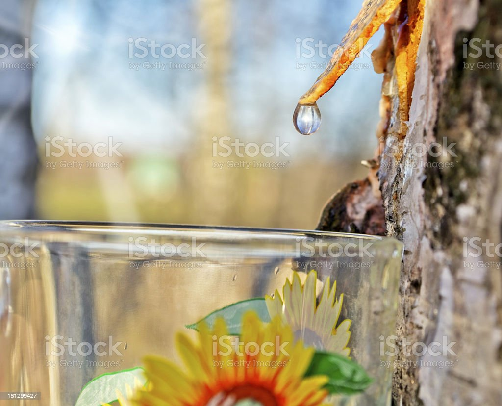 Collecting birch sap stock photo