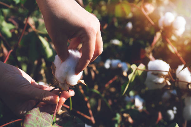 collecting cotton from field at sunset stock photo