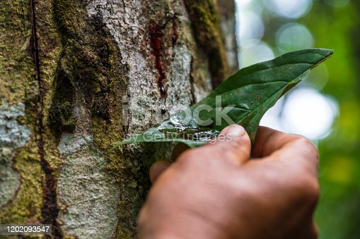 Latex, red resin, leaking from cuts in the trunk of Dragon's blood tree and is  collected on small leaf in Amazon rainforest, Ecuador. It is demonstration and  the latex is used by local Amazon indigenous communities because of its great healing, antibacterial and antiviral powers.