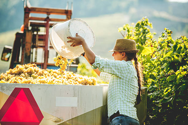 Collecting Handpicked Ripe Grapes stock photo