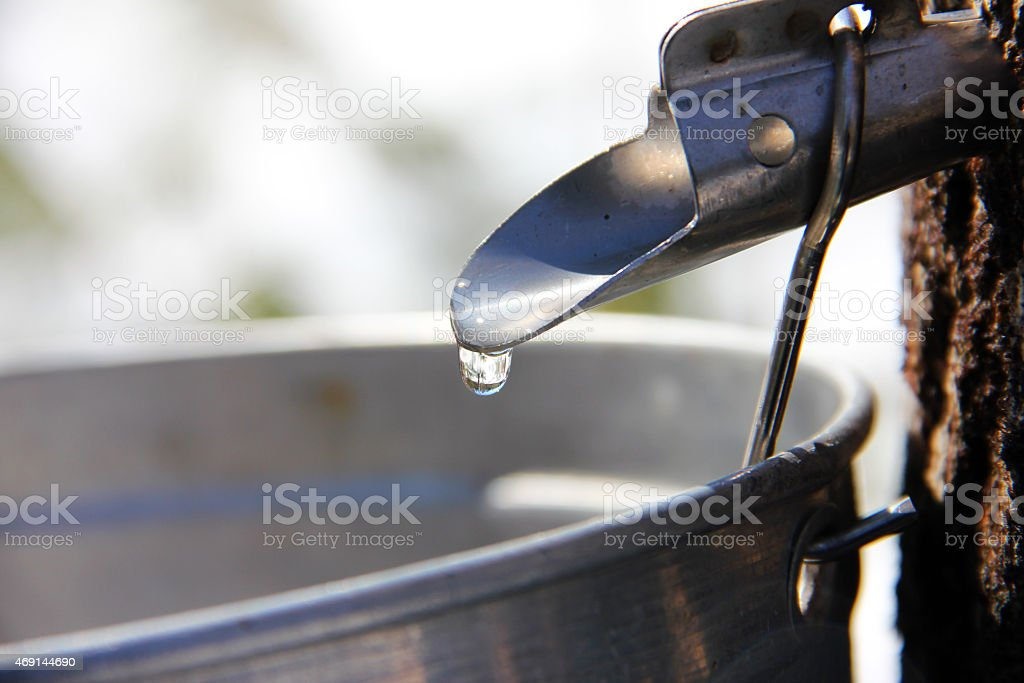 Collecting Maple Syrup Sap stock photo