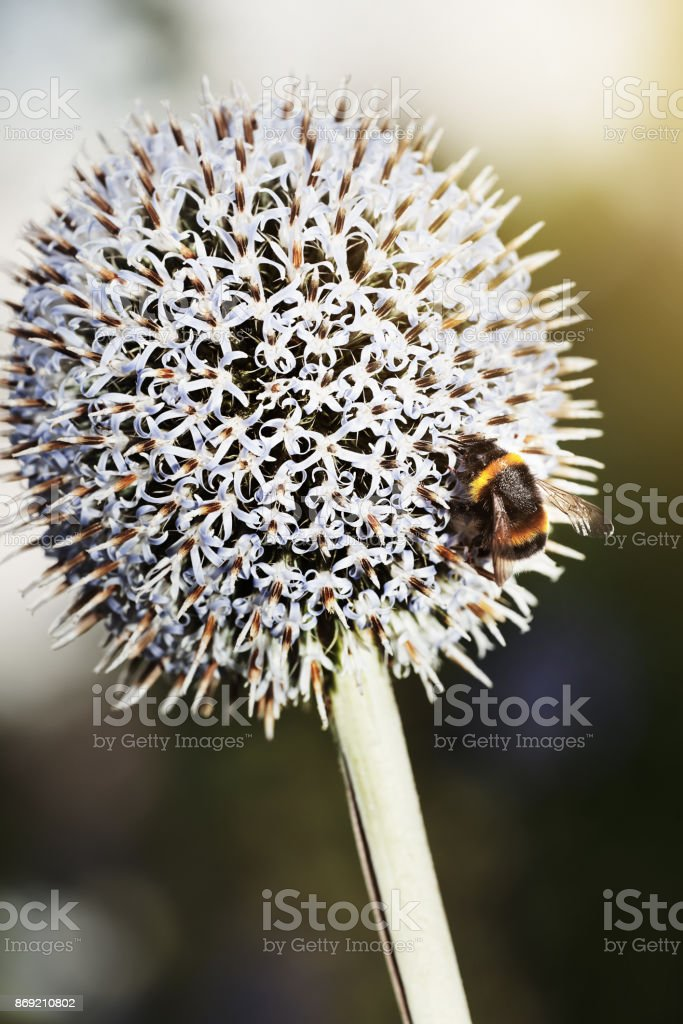 Collecting nectar for honey stock photo