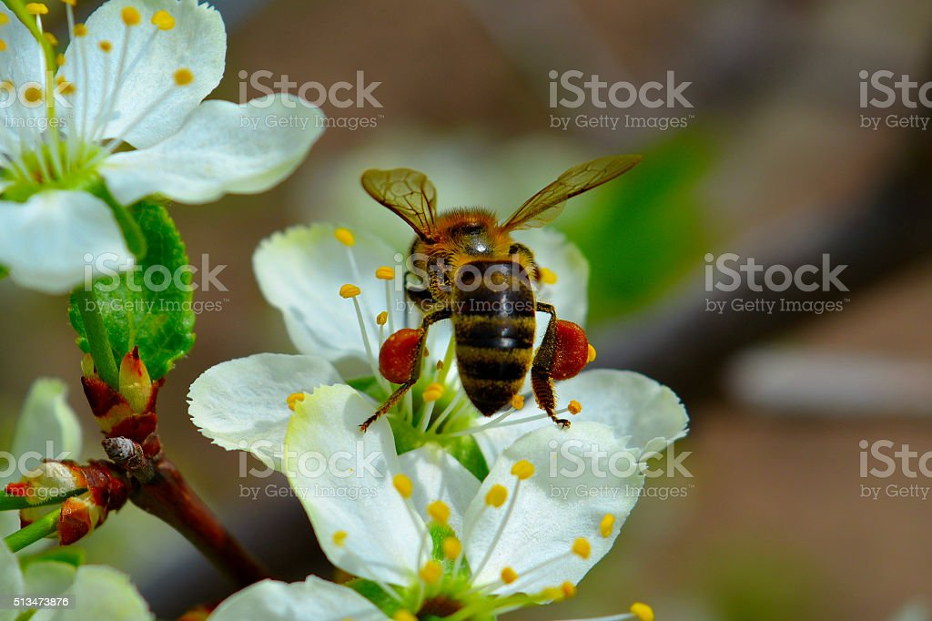 collecting nectar stock photo