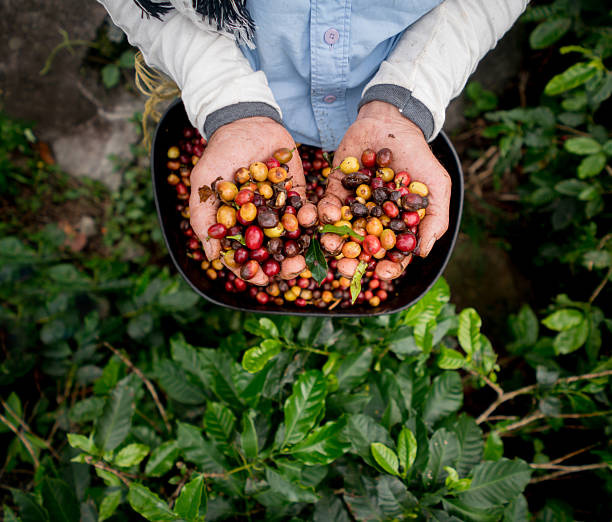 collecting raw coffee beans at a farm - coffee 뉴스 사진 이미지