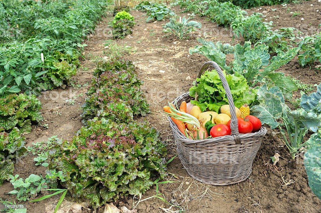 Collecting vegetables in a basket from a kitchen garden royalty-free stock photo