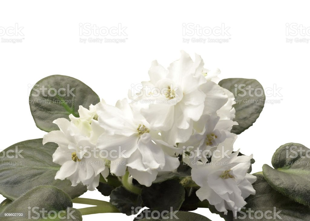 Collection African violets stock photo