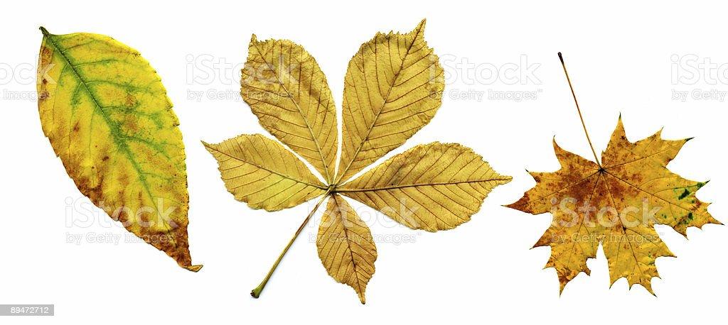 Colección autumnal hojas foto de stock libre de derechos