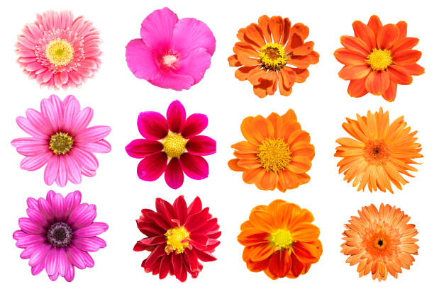 collection flower isolated on white background - flowers stock pictures, royalty-free photos & images
