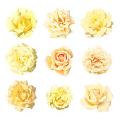 Collection gentle soft flowers of rose isolated on white background. Rose, perennial flowering plant, Rosa, Rosaceae. Flowers in pastel colours ranging from white through yellows, pink and beige