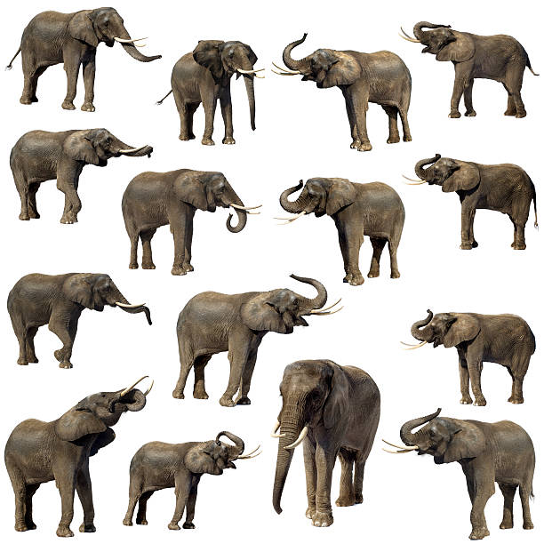 Collection of 15 Elephant  animal trunk stock pictures, royalty-free photos & images