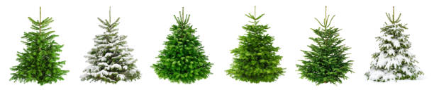 Collection of 6 lush fir trees on pure white for Christmas stock photo