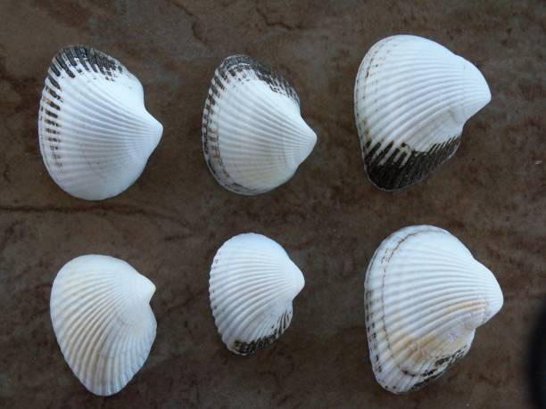 Collection of 6 Ponderous Ark Seashells stock photo