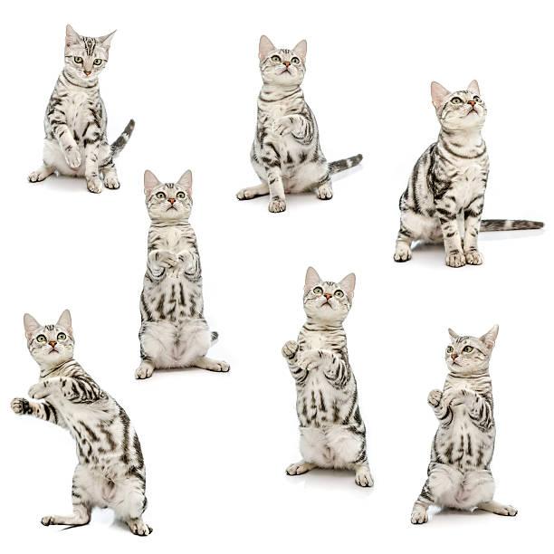 Collection of american short hair kitten picture id518681687?b=1&k=6&m=518681687&s=612x612&w=0&h=o 45twzgrq1amwj855l1mfbqoi855la5ninakk2uma0=