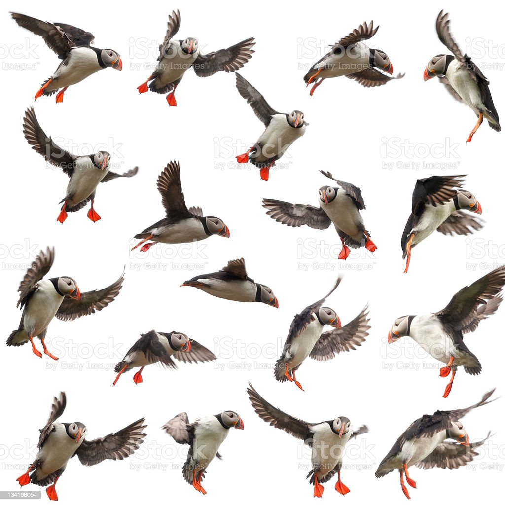 Collection of Atlantic Puffin, Fratercula arctica, in flight, white background. stock photo