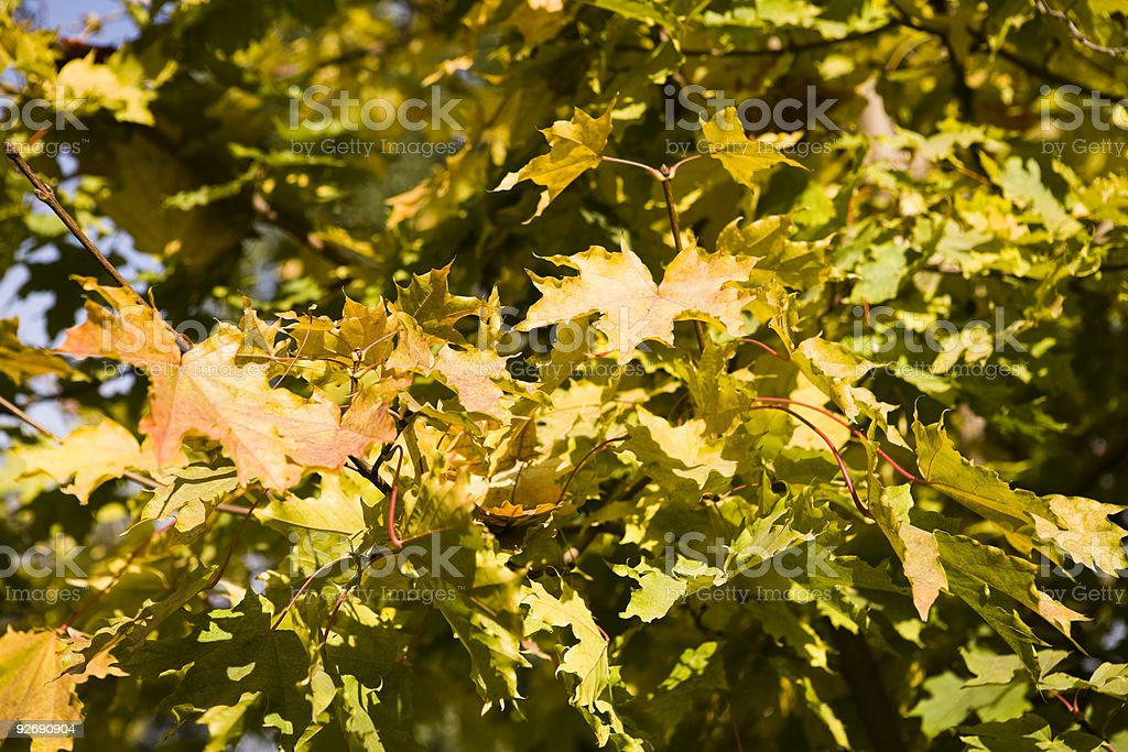 Collection of autumn leaves in tree nurseries 3 stock photo