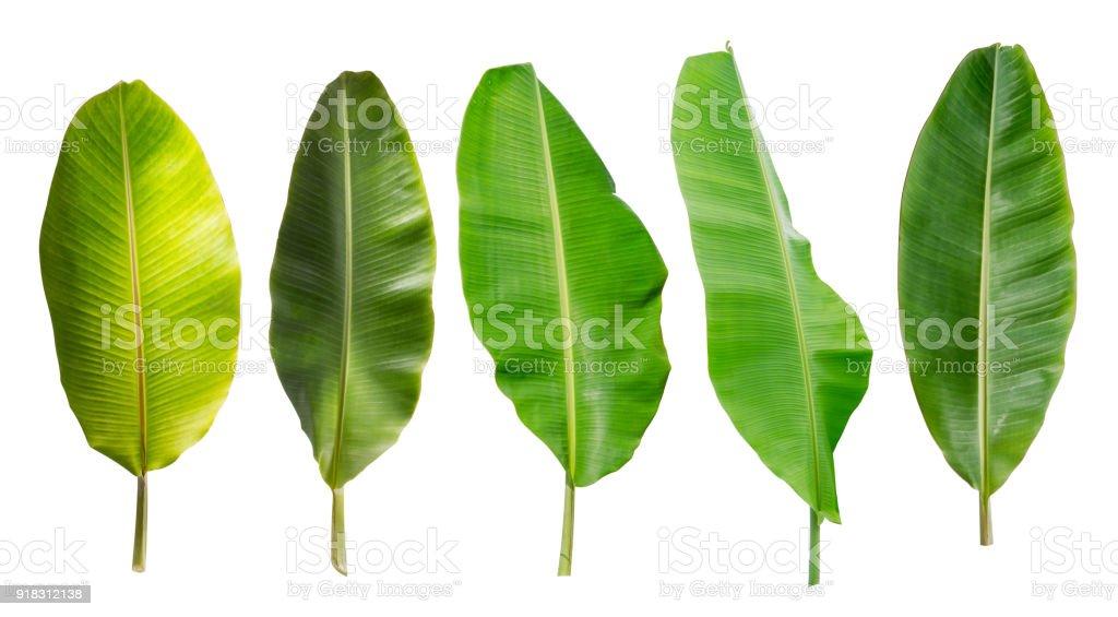 colección de hojas de plátano aislado sobre fondo blanco. Planta tropical - foto de stock