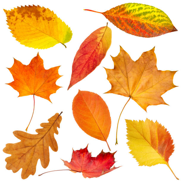 collection of beautiful colorful autumn leaves isolated on white background - autumn stock pictures, royalty-free photos & images